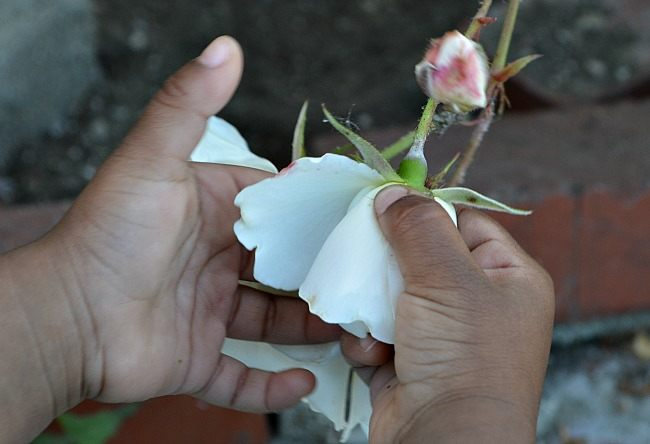 collecting white roses for scavenger hunts